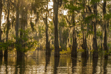 Louisiana, Atchafalaya Basin. Cypress Trees Reflect in Swamp Photographic Print by Jaynes Gallery