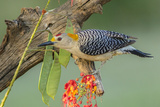 Texas, Hidalgo County. Golden-Fronted Woodpecker on Log Photographic Print by Jaynes Gallery