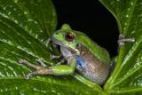 San Lucas Marsupial Frog, Andes, Ecuador Photographic Print by Pete Oxford