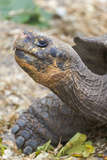 Ecuador, Galapagos Islands, Charles Darwin Research Center, Galapagos Giant Tortoise Photographic Print by Ellen Goff