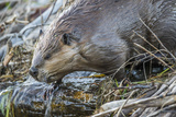 Wyoming, Grand Teton National Park, a Beaver Climbs over it's Dam at Schwabacher Landing Photographic Print by Elizabeth Boehm