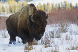 Bison Bull. Late Winter Photographic Print by Ken Archer