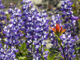 Alpine Wildflowers, Mount Saint Helens Volcano National Park, Washington State Photographic Print by William Perry