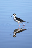 California, San Diego. Black-Necked Stilt in Lindo Lake Reproduction photographique par Jaynes Gallery