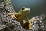 Gliding Leaf Frog, Costa Rica Photographic Print by Tim Fitzharris