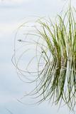 Clump of Grass Reflected on Red Jack Lake, Hiawatha National Forest, Upper Peninsula of Michigan Fotografisk trykk av Adam Jones
