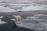 Europe, Norway, Svalbard. Curious Polar Bear Cub Looks at Tourists Photographic Print by Jaynes Gallery