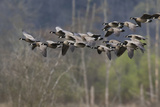 Lesser Cackling Canada Geese Photographic Print by Ken Archer