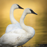 Trumpeter Swans, Yellowstone National Park, Wyoming Photographic Print by Maresa Pryor