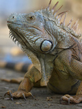 Headshot of a Green Iguana, Costa Rica, Summer Photographic Print by Tim Fitzharris