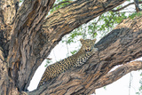 Botswana. Okavango Delta. Khwai Concession. Female Leopard Resting High in a Tree Photographic Print by Inger Hogstrom