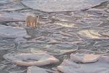 Norway, Svalbard, Spitsbergen. Polar Bear on Sea Ice at Sunrise Photographic Print by Jaynes Gallery