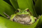 Andean Marsupial Tree Frog, Ecuador Photographic Print by Pete Oxford