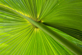 Hawaii, Maui, Hawaiian Fan Palm with Back Lighting Photographic Print by Terry Eggers