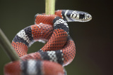 False Coral Snake, Costa Rica Photographic Print by Tim Fitzharris