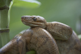 Cook's Tree Boa Snake Coiled, Costa Rica Photographic Print by Tim Fitzharris