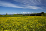 Field of Dandelions, Near Greta Valley, North Canterbury, South Island, New Zealand Photographic Print by David Wall