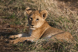 Lion Cub, Masai Mara, Kenya Photographic Print by Sergio Pitamitz