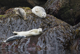 Harbor Seals Resting at Low Tide Photographic Print by Ken Archer