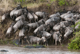 Wildebeest Crossing the River Mara, Masai Mara, Kenya Photographic Print by Sergio Pitamitz