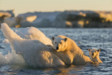 Polar Bear and Young Cub Cling to Melting Sea Ice at Sunset Near Harbor Islands,Canada Photographic Print by Paul Souders
