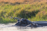 Botswana. Okavango Delta. Khwai Concession. Hippo Mother and Baby in the Khwai River Photographic Print by Inger Hogstrom
