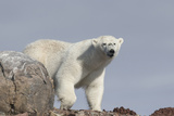 Norway, Svalbard. Polar Bear Close-Up Photographic Print by Jaynes Gallery