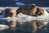 Norway, Svalbard, Spitsbergen. Walrus on Ice Photographic Print by Jaynes Gallery