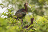 Louisiana, Miller's Lake. White-Faced Ibis Pair in Tree Reproduction photographique par Jaynes Gallery