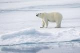 Norway, Svalbard, Pack Ice, Female Polar Bear Photographic Print by Ellen Goff