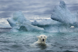 Polar Bear Swimming Near Melting Iceberg Near Harbor Islands,Canada Photographic Print by Paul Souders