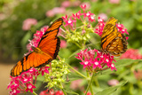 Central America, Costa Rica, Monteverde Cloud Forest Biological Reserve. Butterflies on Flower Photographic Print by Jaynes Gallery