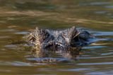 Brazil, Cuiaba River, Pantanal Wetlands, Head of a Yacare Caiman Eyes Exposed, on the Cuiaba River Photographic Print by Judith Zimmerman