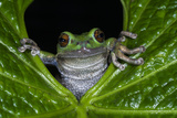 San Lucas Marsupial Frog, Andes, Ecuador Photographic Print by Pete Oxford