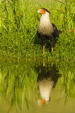 Texas, Hidalgo County. Crested Caracara Reflecting in Water Photographic Print by Jaynes Gallery