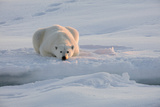Norway, Svalbard, Spitsbergen. Polar Bear Rests on Sea Ice at Sunrise Photographic Print by Jaynes Gallery