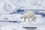 Norway, Svalbard, Polar Bear Sniffing Out Old Carcass Photographic Print by Ellen Goff