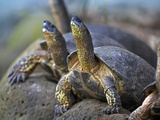 Tortoises Basking in the Sun, Mexico Photographic Print by Tim Fitzharris