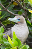 Ecuador, Galapagos Islands, Red-Footed Booby Perching in Mangrove Branches Photographic Print by Ellen Goff