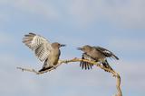 Arizona, Buckeye. Two Gila Woodpeckers Interact on Dead Branch Photographic Print by Jaynes Gallery
