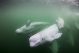Canada, Young Beluga Whale Calf Swimming with Mother and Pod Near Mouth Photographic Print by Paul Souders