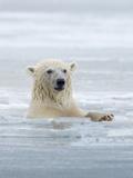 Polar Bears Near Kaktovic, Alaska Photographic Print by Howie Garber