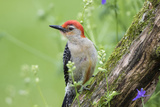 Red-Bellied Woodpecker Male in Flower Garden, Marion County, Illinois Photographic Print by Richard and Susan Day