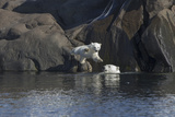 Norway, Svalbard, Polar Bear and Cub Coming Off Rocks to the Ocean Photographic Print by Ellen Goff