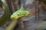 Emerald Tree Boa Snake, Costa Rica Photographic Print by Tim Fitzharris