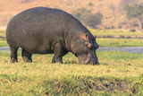 Botswana. Chobe National Park. Hippo Grazing Near the Chobe River Photographic Print by Inger Hogstrom