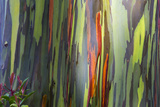 Hawaii, Maui, Rainbow Eucalyptus Trees Photographic Print by Terry Eggers