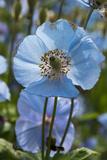 Iceland, Akureyri. Blue Poppies in the Botanical Garden Lystigaardur Fotografisk tryk af Cindy Miller Hopkins