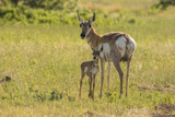 South Dakota, Custer State Park. Pronghorn Doe and Fawn Photographic Print by Jaynes Gallery