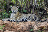 Brazil, Mato Grosso, the Pantanal, Jaguar Resting on the Bank of the Cuiaba River Photographic Print by Ellen Goff